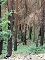 Starr-070908-9255-Eucalyptus globulus-rebounding after fire and carpets of seedlings-Polipoli-Maui (24866582526).jpg