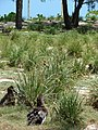 Starr-080531-4736-Eragrostis variabilis-outplantings with Laysan albatross-Clipper House Sand Island-Midway Atoll (24283777273).jpg