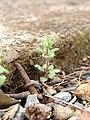 Starr-090401-5494-Veronica arvensis-habit-Olinda-Maui (24320327514).jpg