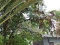 Starr-090518-7883-Adenanthera pavonina-seeding habit-Omaopio-Maui (24324761934).jpg