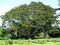 Starr-091104-0827-Serianthes kanehirae-habit-Kahanu Gardens NTBG Kaeleku Hana-Maui (24620046069).jpg
