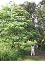 Starr-100111-1201-Aleurites moluccana-habit with Kim placing ant vials-Waihee-Maui (24980348516).jpg