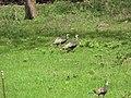 Starr-101005-9188-Triumfetta semitriloba-habitat with wild turkeys-Ulupalakua-Maui (24961161231).jpg