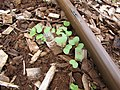 Starr-101030-9383-Brassica oleracea var gongylodes-Early White Vienna seedlings in vegetable garden-Olinda-Maui (25029827486).jpg
