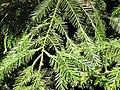 Starr-110105-9960-Sequoia sempervirens-leaves-Polipoli-Maui (24953635952).jpg