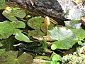 Starr-110307-2041-Nymphaea sp-habit in koi pond-Kula Botanical Garden-Maui (24450613643).jpg