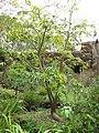 Starr-110307-2326-Pachira aquatica-habit-Kula Botanical Garden-Maui (24709180609).jpg