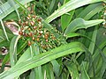 Starr-110411-4960-Dianella sandwicensis-fruiting habit form sandwicensis-Hawea Pl Olinda-Maui (25056192316).jpg