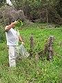 Starr-120329-4041-Delairea odorata-habit with Mach collecting for biocontrol project-Kula-Maui (24770555209).jpg