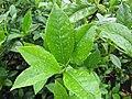 Starr-120620-7480-Camellia sinensis-leaves-Kula Agriculture Station-Maui (24515087404).jpg