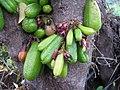 Starr-130221-1598-Averrhoa bilimbi-fruit and flowers-Waihee-Maui (25179791026).jpg