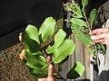 Starr-130318-1773-Cupaniopsis anacardioides-leaf undersides with carrot wood on left and Java plum on right-Kilauea Pt NWR-Kauai (24839926969).jpg
