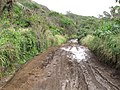 Starr-130319-2809-Hibiscus tiliaceus-habitat with muddy messy dirt road-Quarry Beach Rd-Kauai (25114982981).jpg