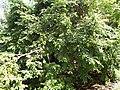 Starr-140925-2042-Averrhoa carambola-habit-Pali o Waipio Huelo-Maui (24616074404).jpg
