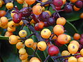 Starr 020108-0007 Schefflera arboricola.jpg