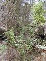 Starr 020808-0052 Smilax melastomifolia.jpg