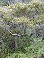 Starr 030405-0228 Syzygium sandwicensis.jpg