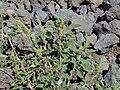Starr 030424-0111 Amaranthus hybridus.jpg