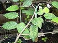 Starr 030523-0020 Flueggea neowawraea.jpg