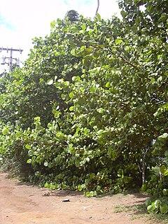Coccoloba Uvifera Wikipedia La Enciclopedia Libre