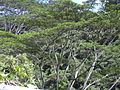 Starr 040209-0326 Falcataria moluccana.jpg