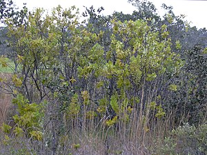 Hawaiian tropical dry forests - Image: Starr 040220 0314 Santalum paniculatum