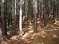 Starr 050918-4448 Pinus caribaea var. hondurensis.jpg