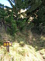 Starr 051224-5890 Pinus radiata.jpg