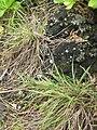 Starr 060422-9400 Cyperus javanicus.jpg