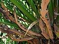 Starr 060905-8759 Cycas circinalis.jpg
