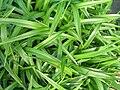 Starr 061108-9663 Dianella sandwicensis.jpg