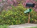 Starr 070308-5511 Argyranthemum frutescens.jpg