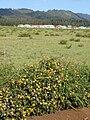 Starr 070404-6702 Araucaria columnaris.jpg