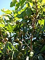 Starr 071024-0021 Litchi chinensis subsp. chinensis.jpg