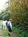 Starr 080304-3175 Syzygium jambos.jpg