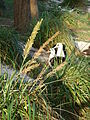 Starr 080531-5057 Eragrostis variabilis.jpg