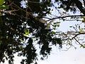 Starr 080604-9204 Juniperus bermudiana.jpg