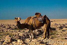 Startled Arabian camel in Al Shamal Qatar.jpg