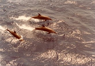 Pantropical spotted dolphin - Pantropical spotted dolphins porpoising