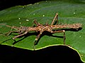 Stick Insect (Dares validispinus) male (15532653926).jpg