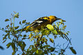 Streak-backed Oriole - Chiapas - Mexico S4E7767 (23781024132).jpg