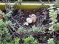 Streptopelia decaocto egg and newborn.jpg