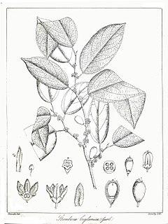 <i>Strombosia</i> genus of plants
