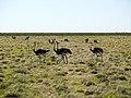 Struisvogels en Koedoes (6521927459).jpg