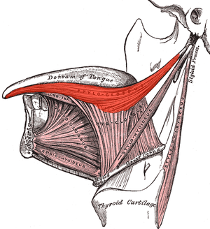 Styloglossus - Extrinsic muscles of the tongue. Left side. (Styloglossus visible at center top.)