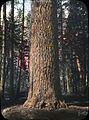 Sugar pine (3717790581).jpg