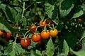 Sun Gold Tomatoes (4866974729).jpg