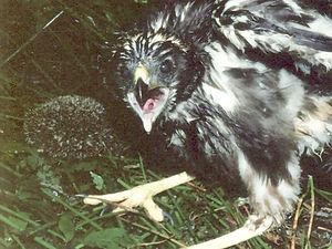 Hedgehogs in New Zealand - Australasian harrier hawk chick with dead hedgehog