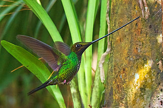 Sword-billed hummingbird - male in eastern Ecuador