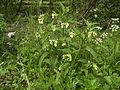 SymphytumOfficinale-plant0.jpg